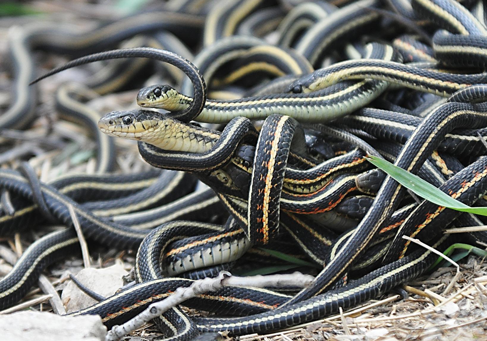 Mating ball of garter snakes